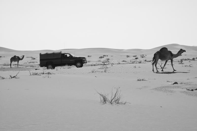 SUV car passing by two camels in the Empty Quarter desert of Ara royalty free stock image
