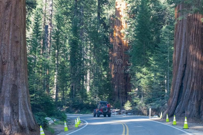 Suv tourist car and giant trees in the Sequoia and Kings Canyon National Park, California, USA. Car trip on an off-road car on the royalty free stock images