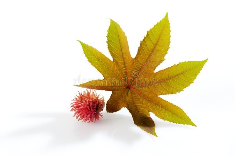 Svängbart hjul - oljeväxt, communis Ricinus, medicinsk växt royaltyfri foto