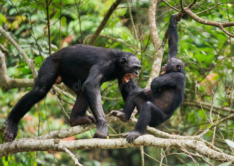 Svära och den aggressiva bonoboen (pannapaniscusen), royaltyfri fotografi
