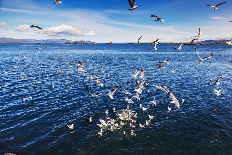 Svärm av att slåss för seagulls royaltyfri fotografi