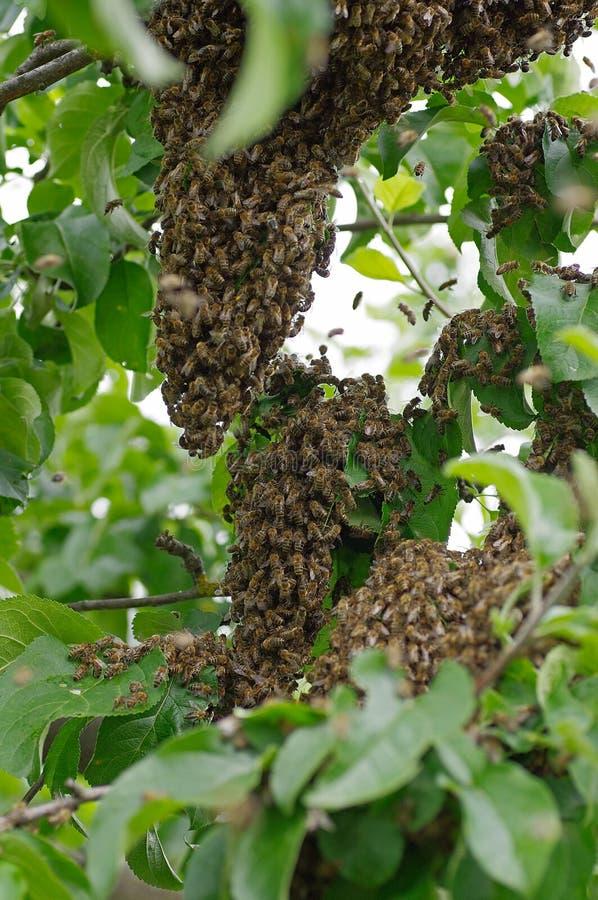 Svärm av bin arkivbilder