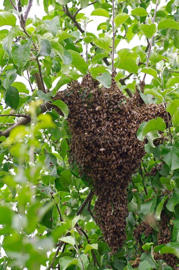 Svärm av bin arkivfoton