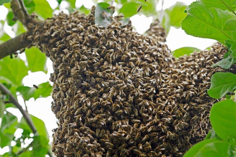 Svärm av bin arkivfoto