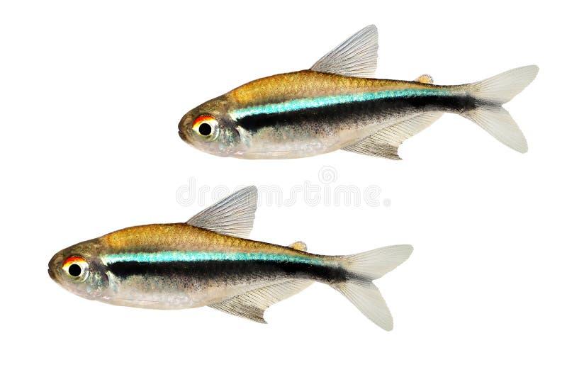 Svärm av för Hyphessobrycon för svart neon den Tetra akvariefisken herbertaxelrodi royaltyfria bilder