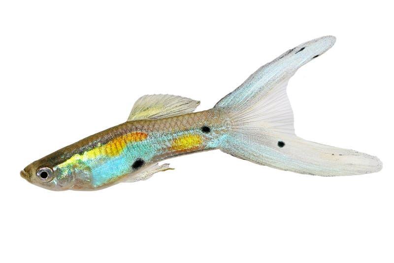 Svärm av för Swordtail för dubblett för neonEndler Guppy Poecilia den färgrika tropiska akvariefisken för manlig Guppies wingei fotografering för bildbyråer