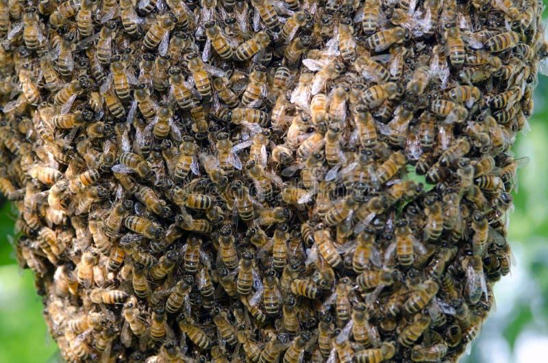 Svärm av honungbin royaltyfria bilder