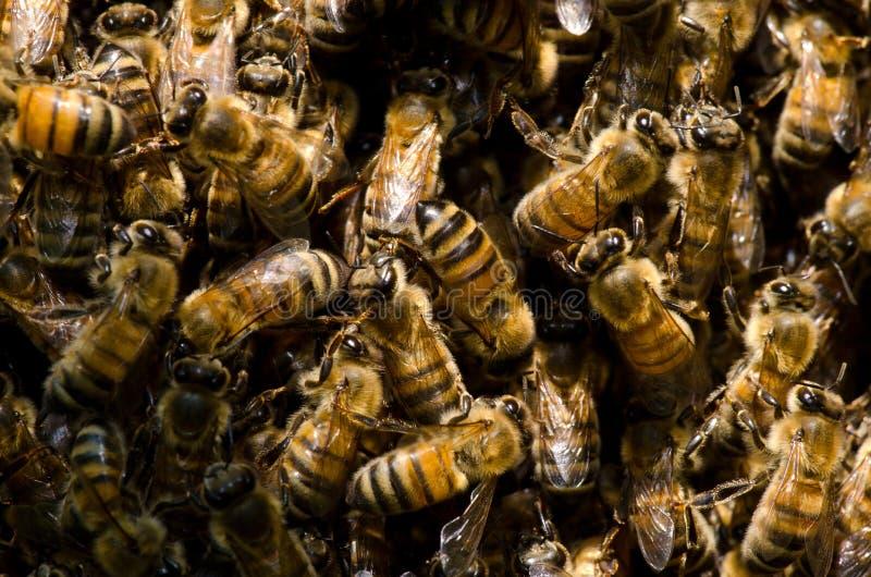 Svärm av honungbin arkivbilder