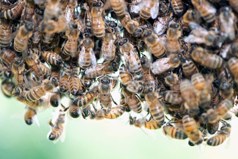 Svärm av honungbin royaltyfri fotografi