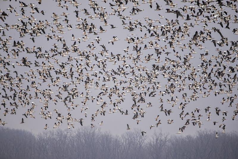 Svärm av vit beklädd gäss, flyg, fjädrar, vingar, djurliv royaltyfri fotografi