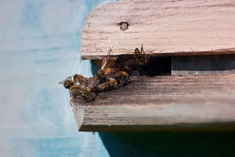 Svärmen av bin flyger in i ett bikupaslut upp royaltyfria bilder