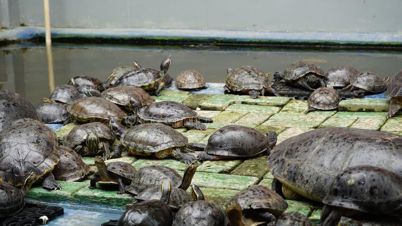 Svärmen av sköldpaddor nära dammet royaltyfria foton