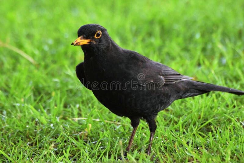 Svärta fågeln arkivbild