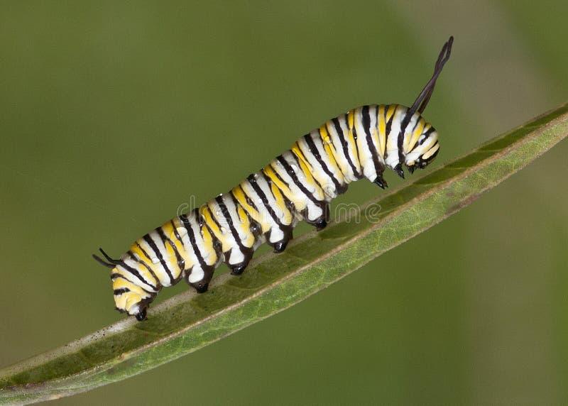 Caterpillar på leafen arkivbilder