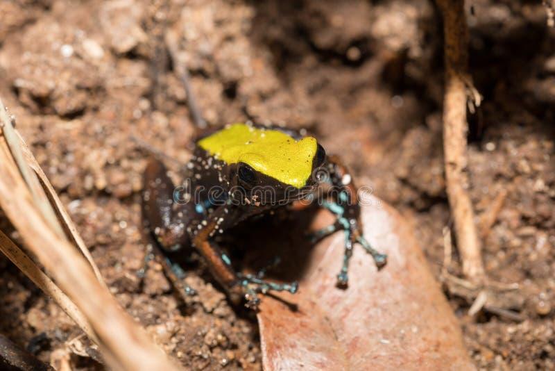 Svärta och gulna grodan som klättrar Mantella, Madagascar arkivfoto