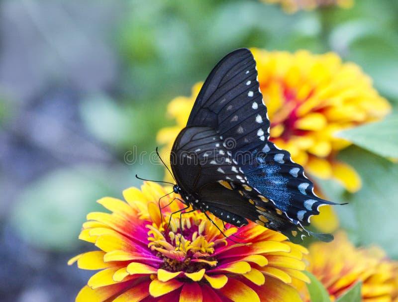 Svärta och slösa den Spicebush Swallowtail fjärilen på blomman royaltyfri bild