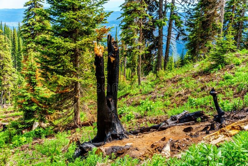 Svärtat blixtslag för träd tack vare i det höga alpint av Tod Mountain i den Shuswap Skotska högländerna royaltyfri fotografi