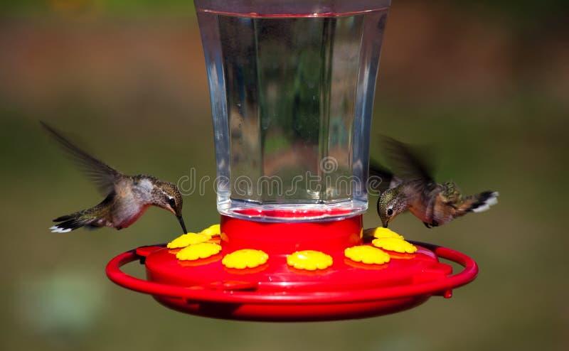 sväva hummingbirds royaltyfri foto