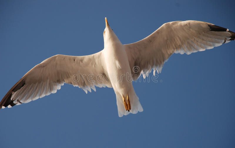 Sväva Seagull royaltyfria foton