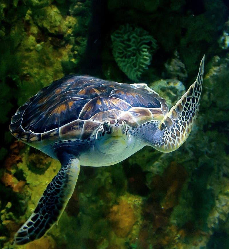 SVÄVA sköldpaddan för grönt hav royaltyfri foto