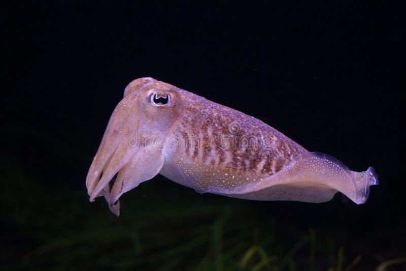 Sväva tioarmade bläckfisken arkivbilder