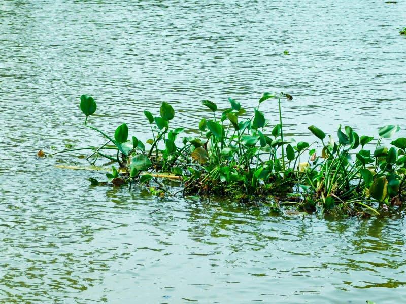 Sväva växter i vatten royaltyfria foton