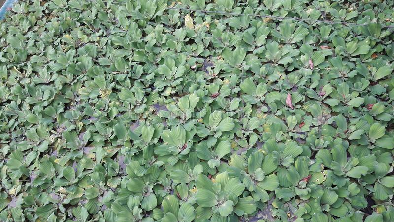 sväva vatten-hyacinten royaltyfria bilder