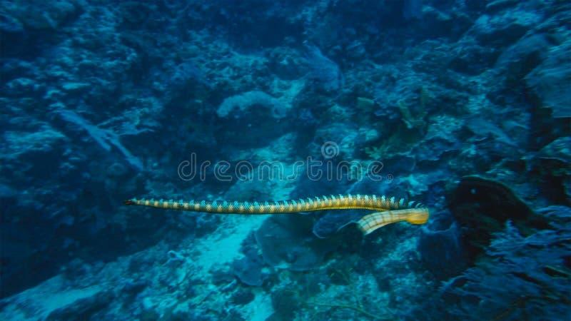 Svag-satt band Hydrophis för havsorm som eller belchers för havsorm belcheri simmar på korallreven, Papua Niugini, Indonesien royaltyfria foton