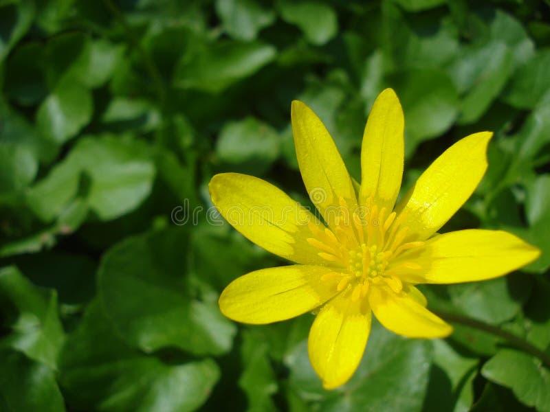 Svalört (Ranunculusficaria) arkivbilder