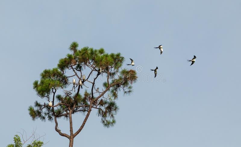 Svala-tailed drakar flockas i sörjaträden av Naples, Florida royaltyfri fotografi