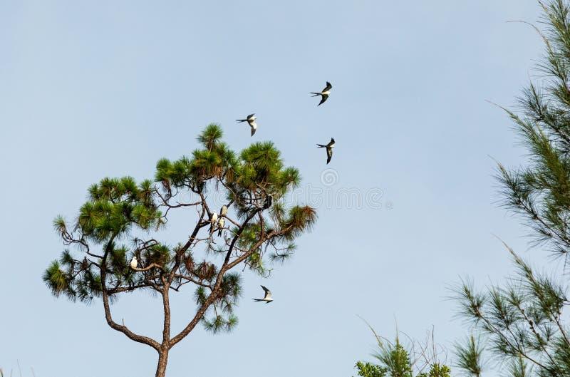Svala-tailed drakar flockas i sörjaträden av Naples, Florida royaltyfri bild