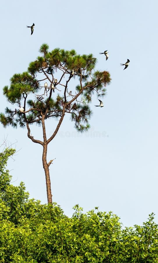 Svala-tailed drakar flockas i sörjaträden av Naples, Florida arkivbilder