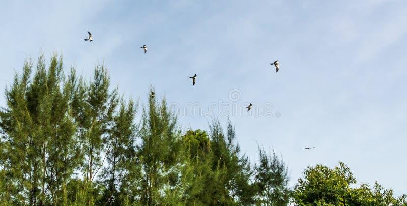 Svala-tailed drakar flockas i sörjaträden av Naples, Florida fotografering för bildbyråer
