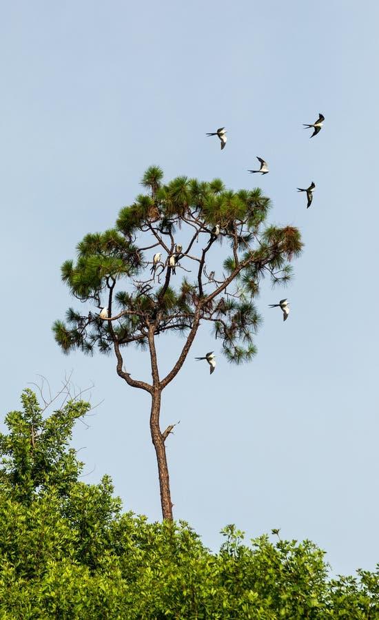 Svala-tailed drakar flockas i sörjaträden av Naples, Florida royaltyfri foto
