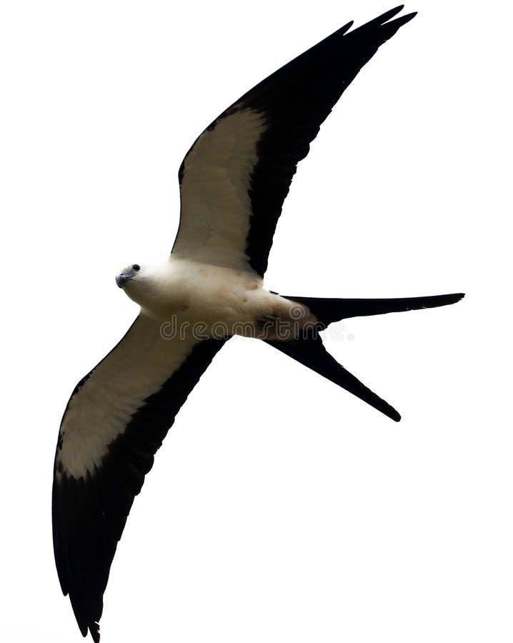 Svala-tailed jakt för drakerovfågel i himlarna av Costa Rica arkivfoto