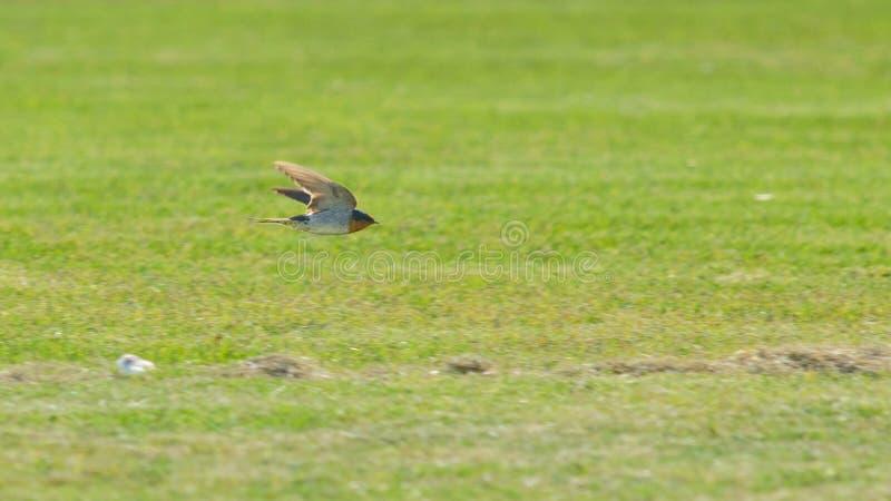 Svalafågelflyg i Australien royaltyfria foton