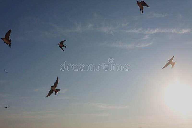 Svalafågelflyg i himlen arkivfoto