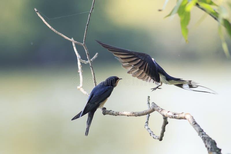 Svalan matar hennes lilla fågel på dammet på - - flugan arkivfoto