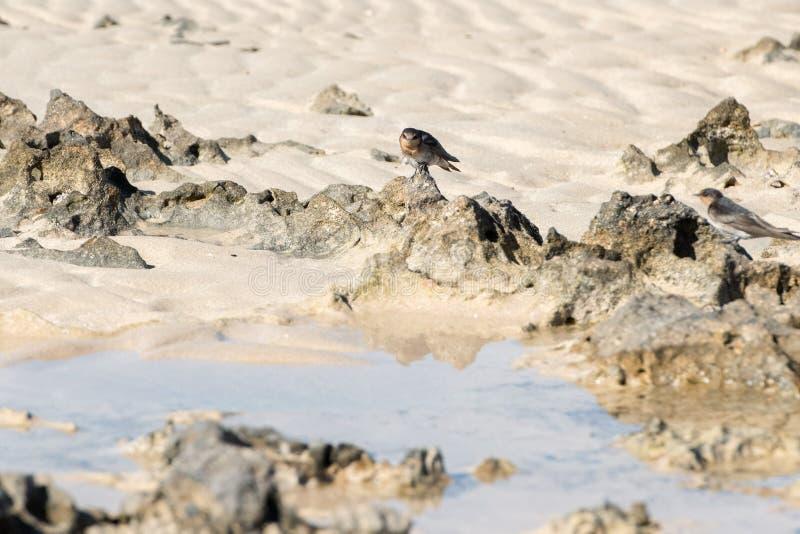 Svalastående på hajfjärdstranden royaltyfri foto