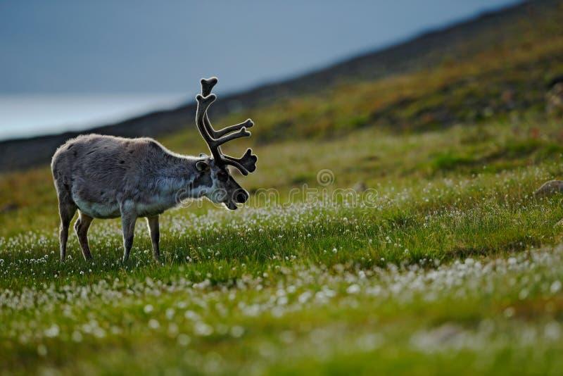 Svalbard hjortar på ängen i Svalbard Ren Rangifertarandus, med massiva horn på kronhjort i det gröna gräset, Svalbard, Norge W arkivfoto