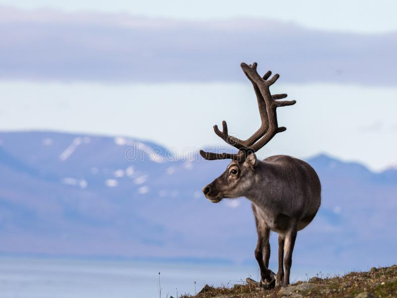 Svalbard male reindeer with big antlers walking in Bjorndalen in summer, Svalbard. Svalbard reindeer male with antlers walking on the tundra in Bjorndalen with royalty free stock image