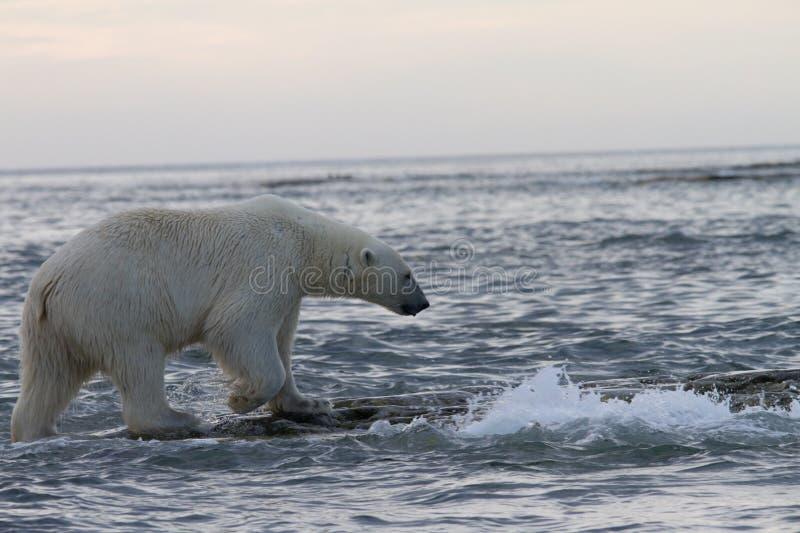 Polar bear. Svalbard Norway wildlife stock images