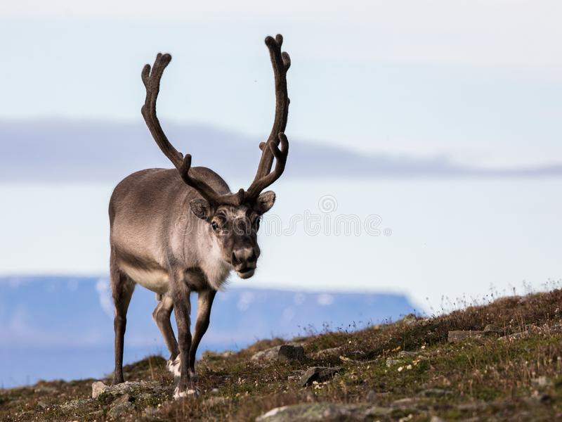 Svalbard male reindeer with big antlers walking in Bjorndalen in summer, Svalbard. Svalbard reindeer male with antlers walking on the tundra in Bjorndalen with royalty free stock photos