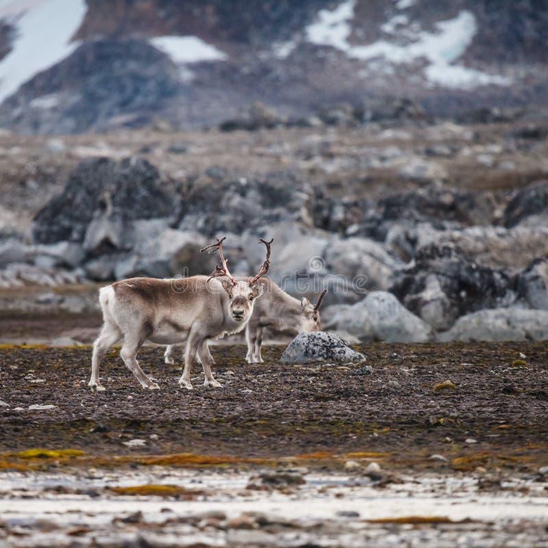 Svalbard ren royaltyfria foton