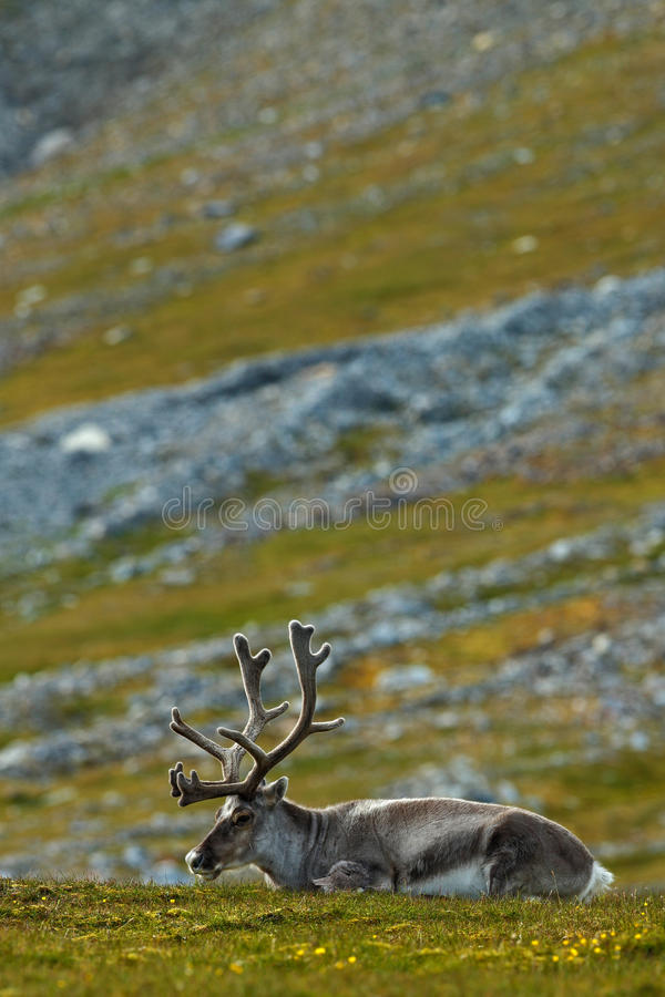 Svalbard ren, Rangifertarandus, med massiva horn på kronhjort, i det gröna gräset Svalbard, Norge arkivbild