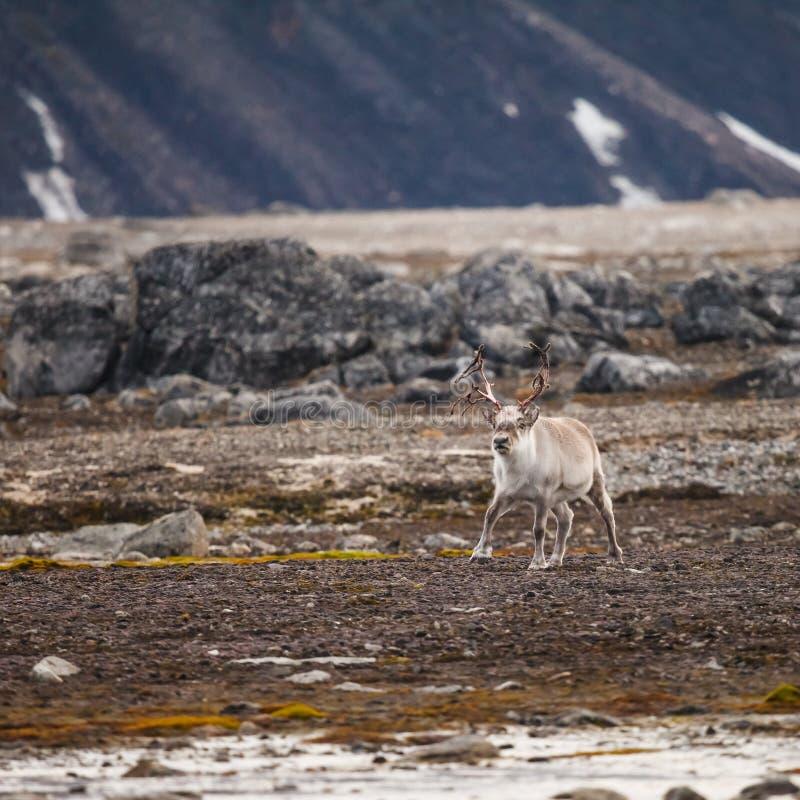 Svalbard renifer fotografia royalty free