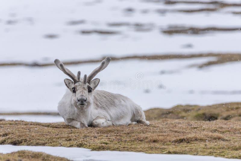 Svalbard renifera odpoczywać fotografia royalty free