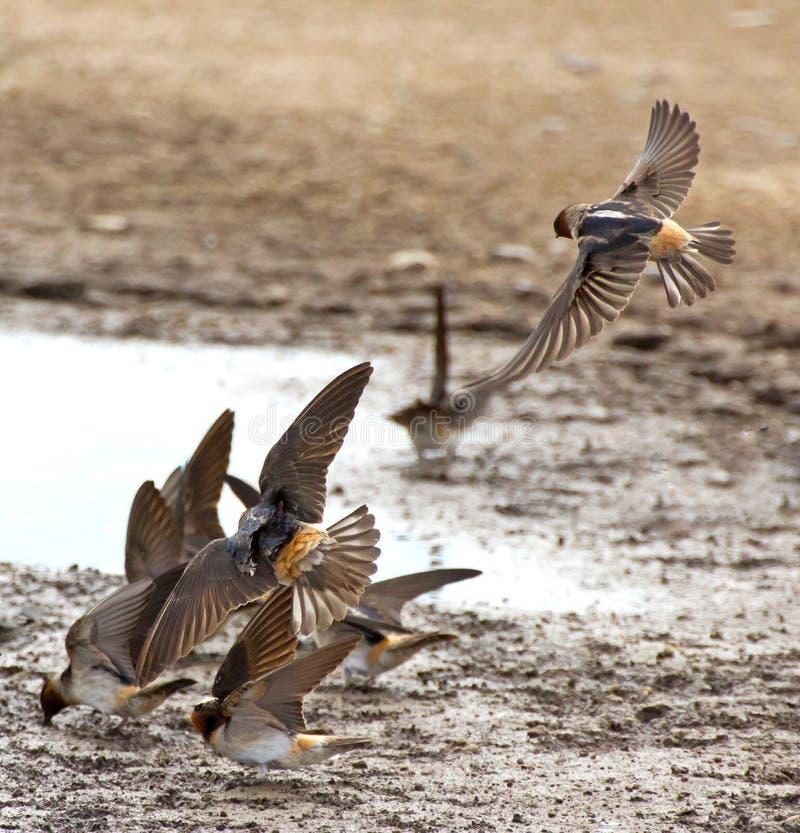 svalor för ladugårdflygpöl royaltyfri fotografi