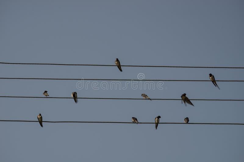 Svalor sitter på den elektriska tråden, bakgrund för blå himmel Litet vila för fåglar Estländsk nationell fågel royaltyfria foton