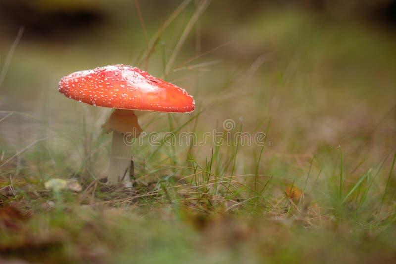 Svamp anseende för flugsvamp i gräs arkivfoton